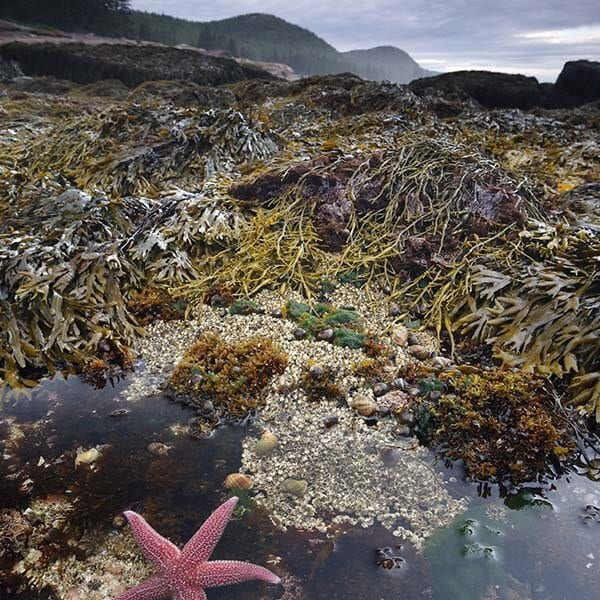 Intertidal Species on Mount Desert Island